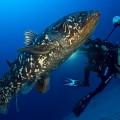 水深120メートルのシーラカンス(撮影:ローラン・バレスタ)