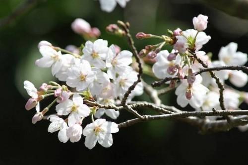 御蔵島の桜(提供:小木万布)