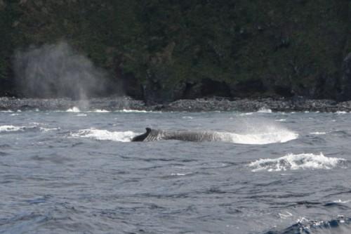 ザトウクジラ(提供:小木)