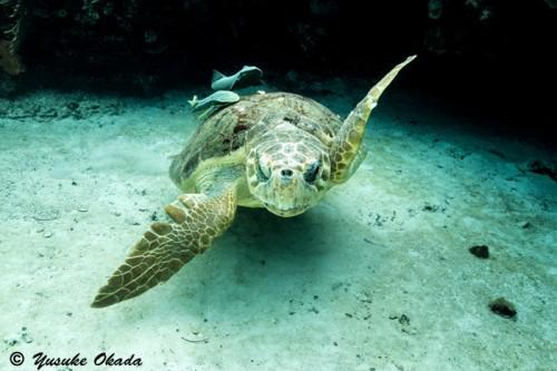 小判鮫を従えたカメはもの凄い勢いで泳ぎ去ってしまった