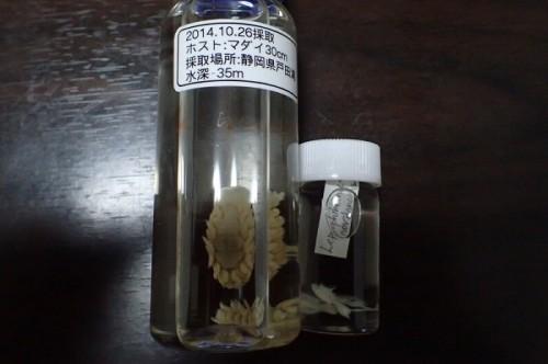ウオノエとウオジラミの標本(提供:jullia)