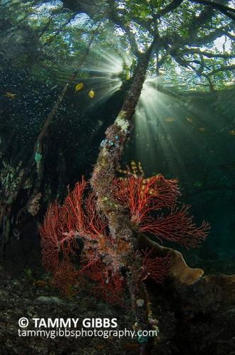 Photo title: Raja Ampat mangroves(ラジャ・アンパット諸島のマングローブ)