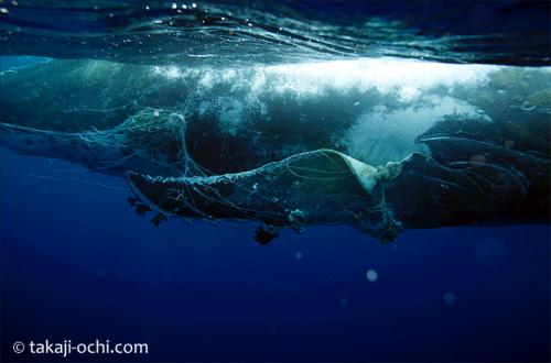 網がひっかかったクジラ(越智隆治)