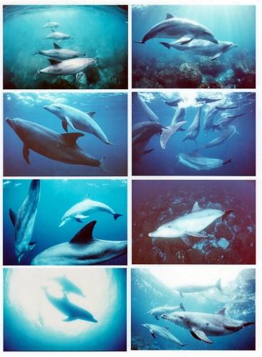 20数年前に撮影した御蔵島のイルカたち(撮影:越智隆治)