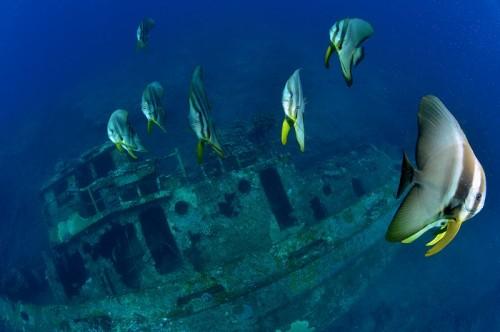 沈船タグのツバメウオと沈船
