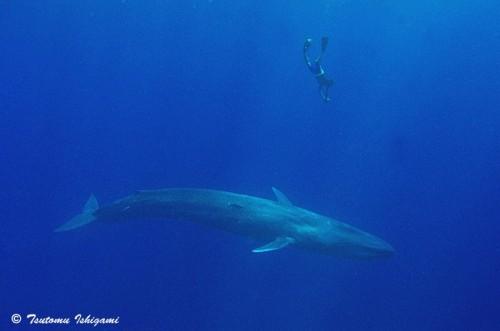 スリランカのシロナガスクジラ(撮影:越智隆治)