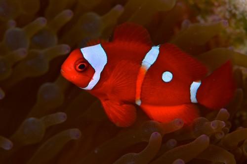 パプアニューギニアのスパインチーク(撮影:中村卓哉)