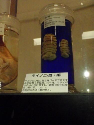 タイノエの標本