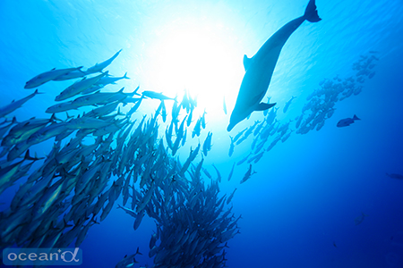 目の前のギンガメアジの群れにバンドウイルカが突っ込んできて、捕食を始めた。捕食行動はダイビングが終わるまで続いていた