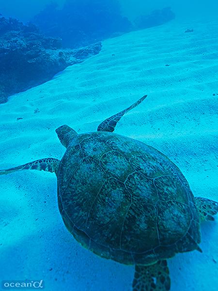 砂地の海底をのんびりと泳ぐウミガメ