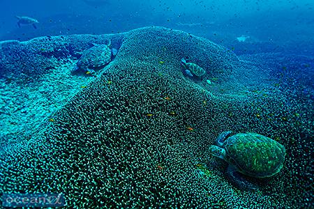 お気に入りのサンゴの寝床に収まって眠るウミガメたち