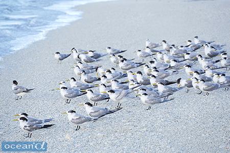 海岸に群れていたアジサシ系の鳥たち