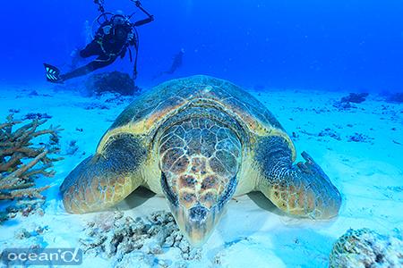 ダイバーを気にせず、砂地で堂々と爆睡を続けるアカウミガメ