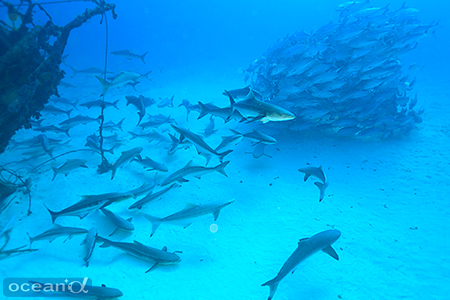 沈船に群れていたコビア(左)とギンガメアジ。なんなんだ!この光景!