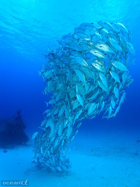 一つの生命体のように形を変えるギンガメアジの群れ