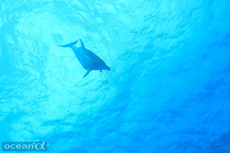 呼吸をしに浮上しては、また何度も海底に戻ってきてギンガメを追っていたバンドウイルカ