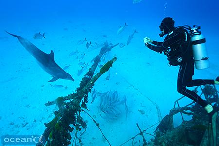 ギンガメアジを追い掛け回すバンドウイルカ。捕食に夢中で、ダイバーのことは気にもとめていない感じ