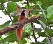 """次の記事: 国旗にデザインされた美しい鳥""""極楽鳥"""" ~レッジーナ・バード"""