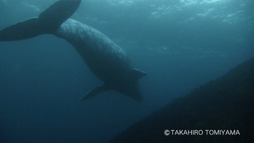 西川名のコククジラ(写真提供:冨山)