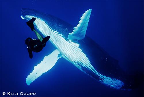 ザトウクジラとダイバー