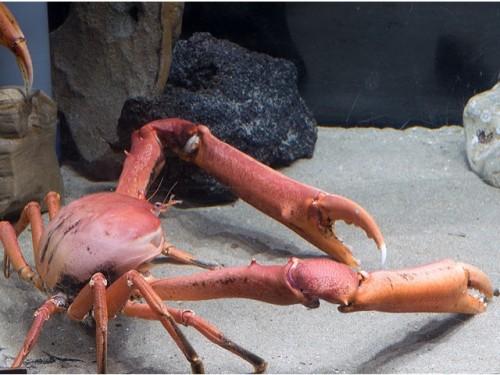 エンコウガニ(提供:名古屋港水族館)