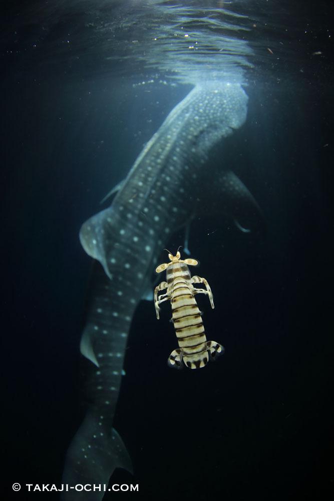 ジンベイザメと泳ぐシャコ