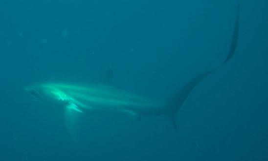 【番組】奇妙な尾を持つ謎のサメ・狩りの一撃に迫る! ~セブのニタリ(オナガザメ)~