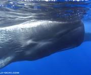 前の記事: シロナガスクジラ1頭、マッコウクジラの群れに遭遇 ~スリラン