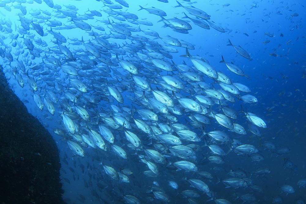体をギラギラと輝かせたギンガメアジの群れ。「セイルロック」のギンガメアジはいくつかの群れに分かれており特に数が多い。 (Photo Hitoshi Masuko)