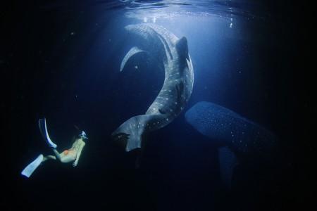 タア環礁ナイトジンベエスイムにて。ジンベエザメと人の一体感が美しい