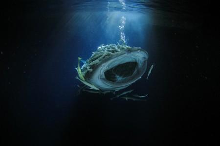 捕食のために口を大きくあけて移動するジンベエザメ