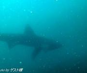 次の記事: 4m級!伊豆半島・大瀬崎に大型のサメが登場!