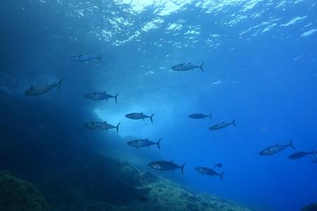 波がぶち当たるトンバ ラの周囲を悠然と泳 ぐイソマグロたち