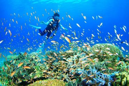 サンゴの群生の上にもアカネハナゴイが乱舞する