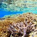 2016年の大規模白化を受ける前に撮影された、西表島のサンゴ礁(撮影/越智隆治)