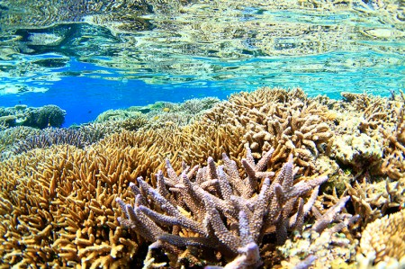 足の踏み場もないくらいに、サンゴが元気に群生している「シークレットガーデン」