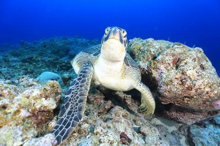 何故か岩に甲羅を擦りつけるウミガメ