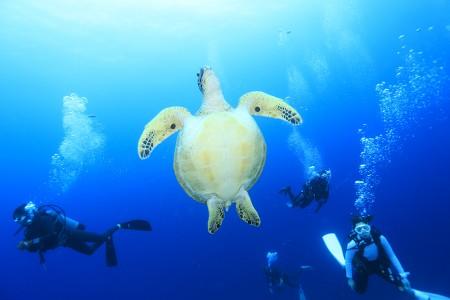 多い時には、1ダイブで50匹ものアオウミガメに遭遇することもある、グランビュータートル