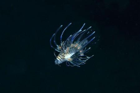 可愛いミノカサゴの幼魚