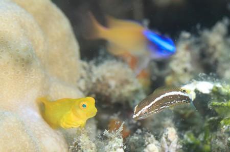キョウセンの一種の幼魚と向かい合う可愛らしいインドカエルウオの幼魚