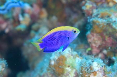 セナキルリスズメダイの若魚