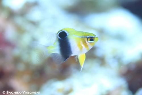 動きの素早いバーチークダムゼルの幼魚もご覧の通り! ばっちりです!