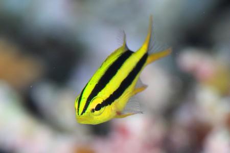 黄色と黒のツートンボディが可愛いヒレナガスズメダイの幼魚