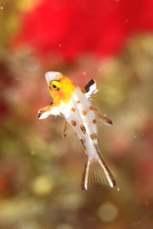 1センチサイズのヒオオドシベラの幼魚