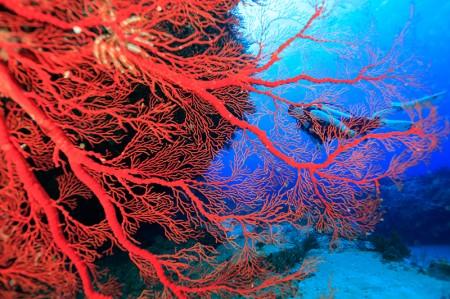 ストロボを当てると、真紅のイソバナが青い海に映える