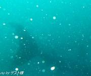前の記事: ニタリ説から一転、やっぱりウバザメか!? 続・大瀬崎に登場し