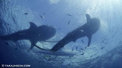 世界で一番ジンベエザメを撮れる海!~越智隆治と行くセブフォトツアー~