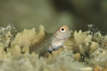 イシガキカエルウオの幼魚
