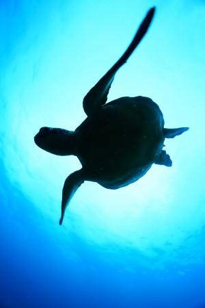 アオウミガメのシルエット