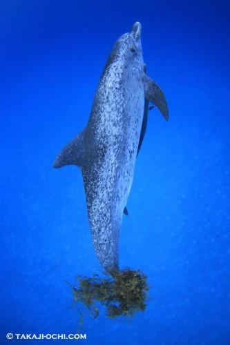 バハマ イルカ ドルフィン 海藻